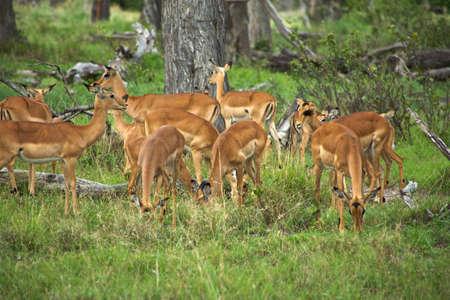 Springboks in Moremi Nature Reserve photo