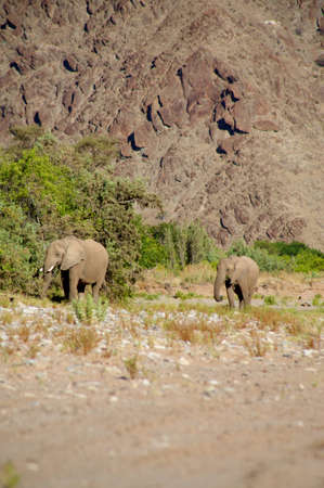 Group of elephants eating in a river bed in the Skeleton Coast Desert, Namibia Stock Photo - 12659882