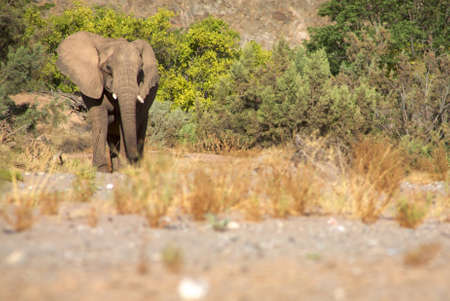 Elephant eating in a river bed in the Skeleton Coast Desert, Namibia photo