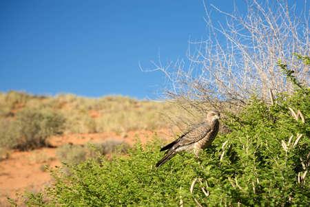 Martial Eagle seen in the Kalahari desert Stock Photo - 12668649