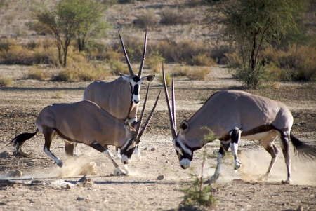 grazer: Gemsboks fighting in the Kalahari desert Stock Photo