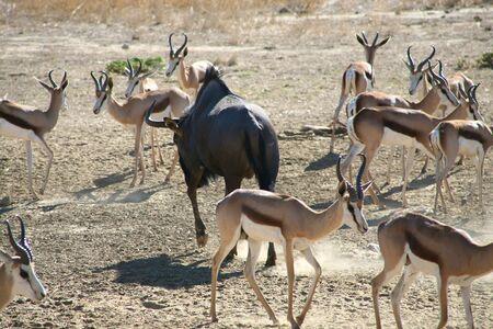 Springboks in the Kalahari Desert Stock Photo - 12661617