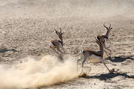 Springboks running in the Kalahari Desert photo