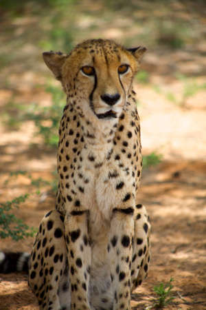 Cheetah resting on the floor, Harnas Reserve Namibia photo