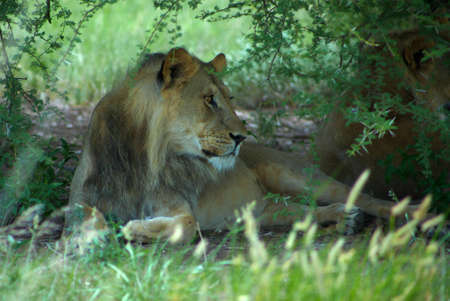 Detail of a lion in a Safari in Botswana Stock Photo - 12668682