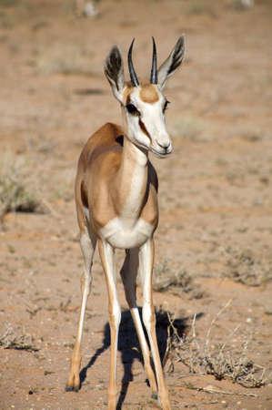 springbok: Baby Springbok in the Kalahari desert Stock Photo