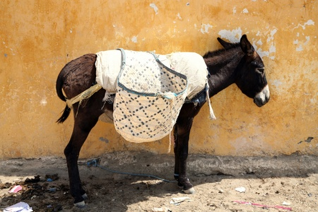 African Donkey with yellow wall of old house photo