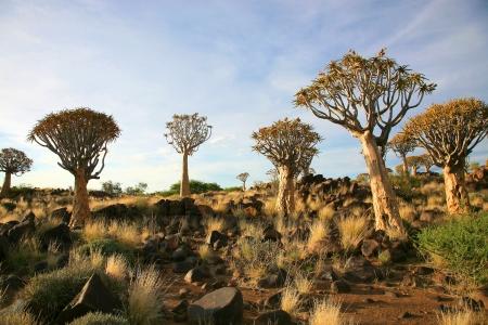 quiver: Desert landschap met granieten rotsen en een quiver boom (Aloe dichotoma), Namibië, Zuid-Afrika