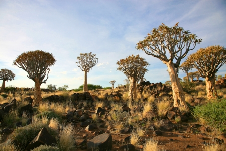 Desert landscape with granite rocks and a quiver tree (Aloe dichotoma), Namibia, southern Africa Standard-Bild