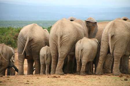 Elephants lifestyle in South Africa Stock Photo - 12797208