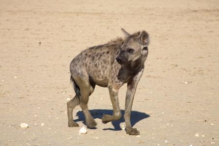 scavenge: Spotted Hyaena in the Kalahari Desert Stock Photo