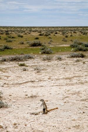 cape ground squirrel: Namibian wild squirrel, Etosha park.
