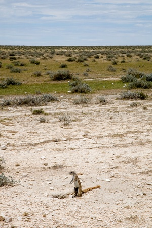 xerus inauris: Namibian wild squirrel, Etosha park.