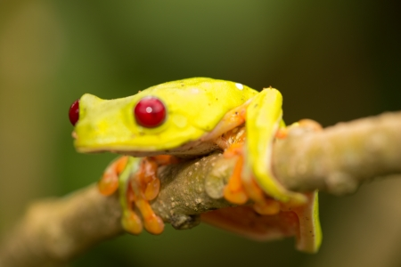 redeyed tree frog: A macro shot of a Red-Eyed Tree Frog (Agalychnis callidryas) sitting along a tree branch Stock Photo