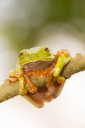 agalychnis callidryas: A macro shot of a Red-Eyed Tree Frog (Agalychnis callidryas) sitting along a tree branch Stock Photo