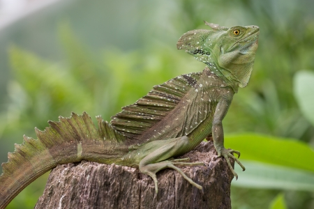 Green Iguana sitting in Costa Rica with green and blurred background photo