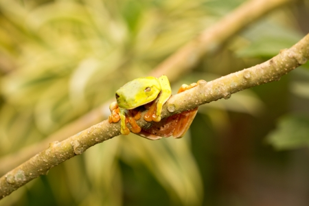 A macro shot of a Red-Eyed Tree Frog (Agalychnis callidryas) sitting along a tree branch photo