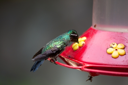 A hummingbird resting at a water point in Costa Rica photo