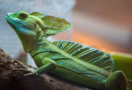 Green Iguana sitting in Costa Rica and blurred background photo