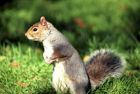 omnivores: Squirrel in central park - new-york