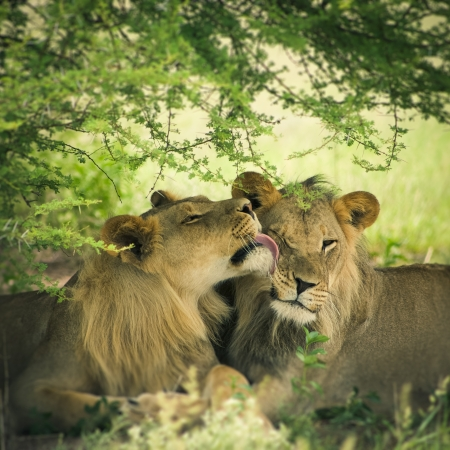 carnivores: Loving pair of lion and lioness in Botswana with illustration treatment
