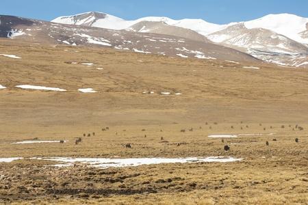 Herd of yaks grazing in the Himalaya on the Friendchip Road going to Kathmandu, Tibet, China Stock Photo - 20554808
