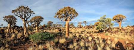 best known: The quiver tree or Aloe dichotoma is probably the best known aloe found in South Africa and Namibia.