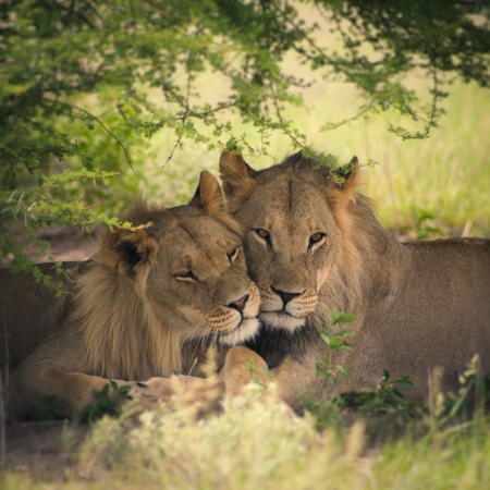 male animal: Loving pair of lion and lioness in Botswana with illustration treatment
