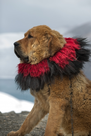 Closeup of tibetan mastiff at Yamdrok lake in Tibet, China photo