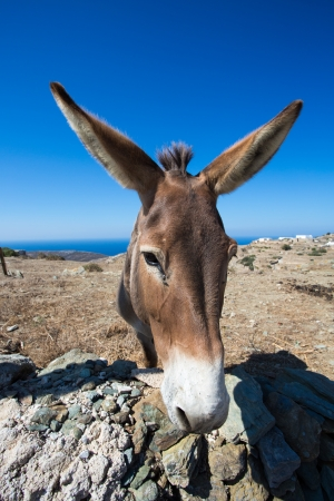 Close-up from a mule in the dry landscape of Folegandros, in the distance a glimpse of the beautiful aegean sea and the shoreline. Stock Photo - 21470437
