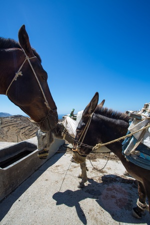 Close up from three working mules and there handmade and nicely decorated  eating bags. Mules are still working a lot and popular in Folegandros, Greece , 2013. Stock Photo - 21458573
