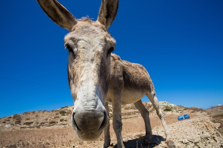 Funny close-up from a head of a mule. in the very dry hills of the shoreline of Folegandros, greece, 2013 photo