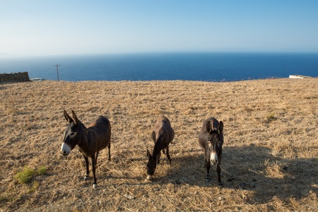 Three mules eating of the dried land  at the shoreline of the peaceful aegean sea in Folegandros, Greece , 2013. Stock Photo - 21458405
