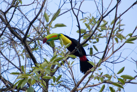keel: Keel Billed Toucan on his tree, from Central America. Seen in Minca, early in the morning. Colombia Stock Photo