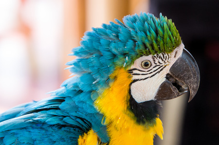 Blue Gold Macaw, breeds in forest and woodland of Tropical South America from Trinidad and Venezuela south of Brazil, Bolivia, Colombia and Paraguay. photo