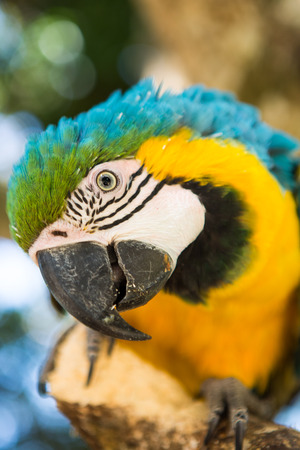 Blue Gold Macaw, breeds in forest and woodland of Tropical South America from Trinidad and Venezuela south of Brazil, Bolivia, Colombia and Paraguay  photo