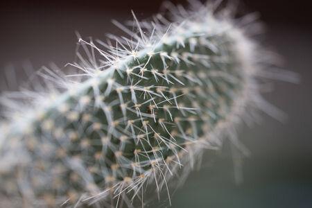 vaderlijk: cactus in de dauw op een grijze