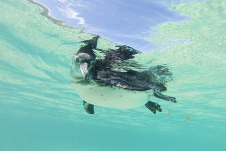 webbed feet: Close-up view of a little Galapagos penguin swimming underwater. Galapagos Island. Ecuador 2015