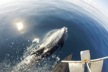 Galapagos islands, dolphins swimming in front of the boat in the blue sea. Ecuador 2015