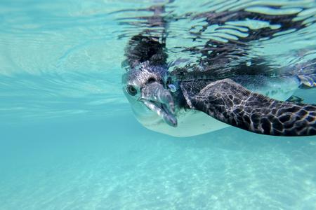 marine bird: Close-up view of a little Galapagos penguin swimming underwater. Galapagos Island. Ecuador 2015