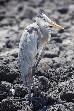 herodias: Great Blue Heron (Ardea herodias). Punta Espinosa, Fernandina Island, Galapagos, Ecuador.