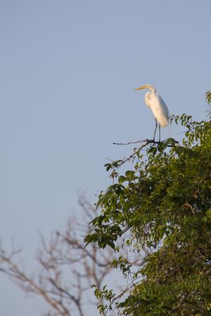 manuel: Great Egret (Ardea alba) standing on a branch near lake Maracaibo in the National park of Cienagas de Juhan Manuel, Venezuela