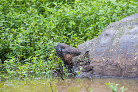 ancient turtles: Giant Galapagos land turtle, eating grass in El Chato Tortoise Reserve. Galapagos islands 2015.