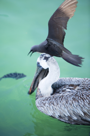 swimming bird: Bird standing on the head of a Pelican looking for grabbing a fish swimming right in front of him. Galapagos Islands, Ecuador 2015.