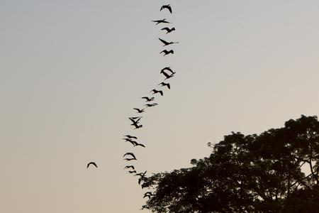 diagonal lines: Birds flying in formation against a clear sky. Lake Maracaibo. Venezuela