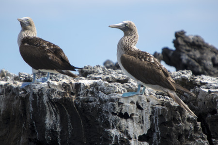 boobies: Blue-footed boobies standing on the stones against a blue sky in the Galapagos Islands, Ecuador
