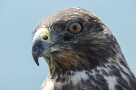 vulnerable: Closeup of Galapagos Hawk (Buteo galapagoensis). Vulnerable and endemic specie living in the Galapagos islands. Puerto Villamil, Isabela Island, Galapagos, Ecuador. Stock Photo