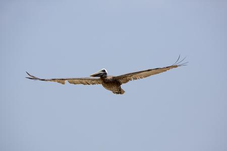 great white pelican: Great White Pelican (Pelecanus onocrotalus) flying against blue sky. Morrocoy National Park. Venezuela