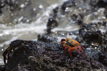 pinchers: Sally Lightfoot Crab or Red Rock Crab walking on the black volcanic stone at the beach of Isabela, Galapgos Islands 2015.