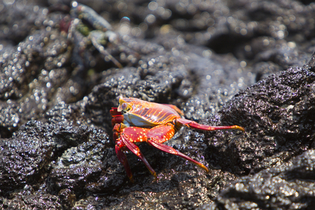 vividly: Sally Lightfoot Crab or Red Rock Crab walking on the black volcanic stone at the beach of Isabela, Galapgos Islands 2015.